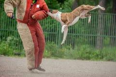 Psia rywalizacja, milicyjnego psa szkolenie, psy bawi się zdjęcie royalty free