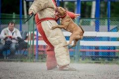 Psia rywalizacja, milicyjnego psa szkolenie, psy bawi się fotografia stock