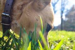 psia ` s twarz w trawy fotografii makro- pięknie Obrazy Stock