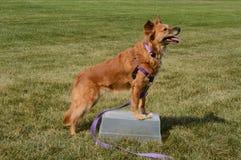 Psia sztuczka dostaje dwa cieki up i zostawać Fotografia Stock