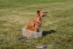 Psia sztuczka dostawać i sittig inside pudełko Obraz Royalty Free