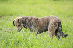 Psia sztuka (fotografia stary pies) Obraz Royalty Free