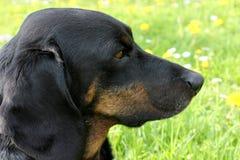 Psia twarz Obraz Stock