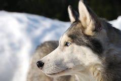 psia łuskowata zimy. Zdjęcia Royalty Free