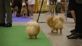 Psia wystawa, piękne malutkie pomorzanki odpoczywa po tym jak zwierzęcia domowego przedstawienie, highbred psy zdjęcie wideo