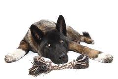 psia zabawka Fotografia Stock