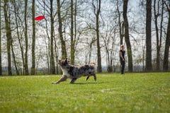 Psia zwinność na greenfield obrazy stock
