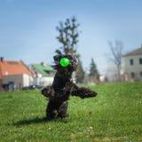 Psia zwinność na greenfield zdjęcie stock