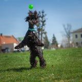 Psia zwinność na greenfield obrazy royalty free