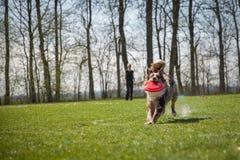 Psia zwinność na greenfield zdjęcia royalty free