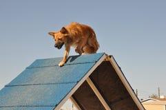 Psia zwinności rama Fotografia Stock