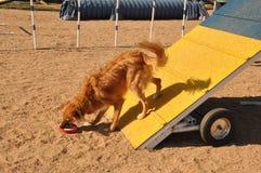 Psia zwinności rama Zdjęcia Stock