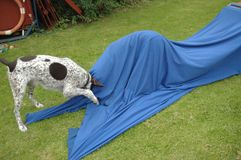 Psia zwinności zabawa Zdjęcie Royalty Free