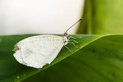 Psiche, Leptosia Nina, farfalla bianca Immagine Stock