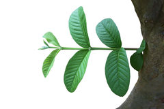 Psidium guajava Leaf Royalty Free Stock Photos