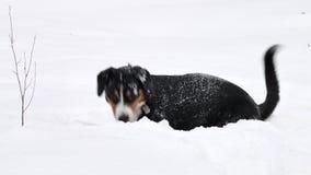 Psie sztuki w zima lesie zdjęcie wideo