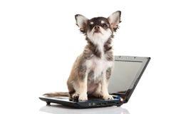 Psiego chihuahua komputerowy laptop odizolowywający na białej tło nowej technologii fotografia stock