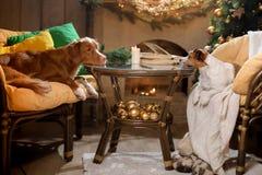 Psiego Jack Russell Terrier i Psiej nowa Scotia kaczki Tolling aporter Boże Narodzenie sezon 2017, nowy rok Zdjęcia Stock