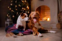 Psiego Jack Russell Terrier i Psiej nowa Scotia kaczki Tolling aporter Boże Narodzenie sezon 2017, nowy rok Fotografia Stock