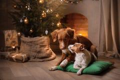 Psiego Jack Russell Terrier i Psiej nowa Scotia kaczki Tolling aporter Boże Narodzenie sezon 2017, nowy rok Zdjęcia Royalty Free