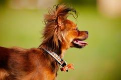 psiego portreta rosyjska teriera zabawka Fotografia Stock