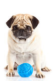 psiego pugdog niciana piłka odizolowywająca na białym tle Zdjęcie Stock