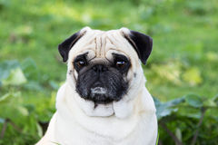 Psiego pugdog plenerowy zwierze domowy patrzeje w kamerze zdjęcie stock