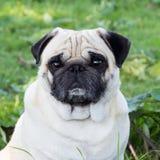 Psiego pugdog zwierzęcego parka trakenu plenerowy zwierzę domowe zdjęcie royalty free