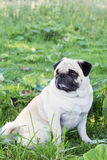 Psiego pugdog zwierzęcego parka trakenu plenerowy zwierzę domowe fotografia stock