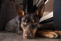 Psiego trakenu Kelpie Australijski portret w mieszkaniu na laminacie fotografia royalty free