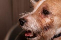 Psiej alergii oczu skóry nad futerka itchy choroba Zbliżenie narysy obraz stock