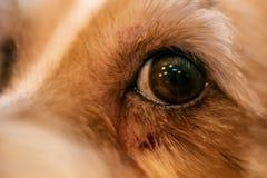 Psiej alergii oczu skóry nad futerka itchy choroba Zbliżenie narysy zdjęcie royalty free