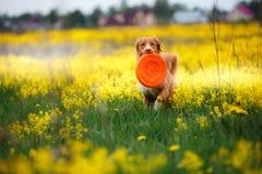 Psiej nowa Scotia kaczki aporteru Tolling odprowadzenie w polu w lecie Zdjęcie Stock