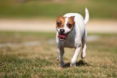 psiej trawy dźwigarka biega Russell teriera zdjęcia stock