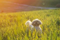 psiej trawy shih tzu Obrazy Stock