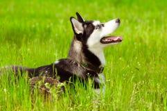 psiej trawy zieleni husky Zdjęcie Stock