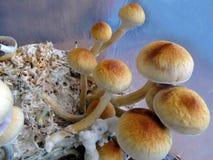 Psilocybe cubensis, magic mushrooms. Closeup Stock Images