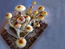 Psilocybe cubensis, magic mushrooms. In a growbox Stock Images