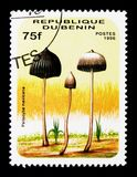 Psilocybe mexicana,蘑菇serie,大约1996年 免版税库存照片