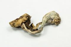 Psilocybin Mushroom 1 Royalty Free Stock Images