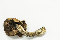 Psilocybin Mushroom 3 Stock Photo
