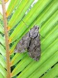Psilogramma Casuarinae, Australasian сумеречница хоука Privet на лист ладони в заливе Hanalei на острове Кауаи, Гаваи стоковое изображение rf