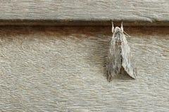 Psilogrammaincreta op bruine houten, detail van nachtvlinder Stock Foto