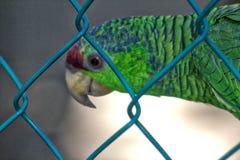 Psittacaraholochlorus, Mexicaanse groene parkiet in gevangenschap, lagune van ventanillaoaxaca, México stock afbeelding