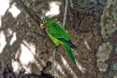 Psittacaraholochlorus, Mexicaanse groene parkiet in gevangenschap, lagune van ventanillaoaxaca, M?xico royalty-vrije stock fotografie