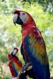 Psittacidae - попугай Стоковые Изображения