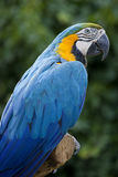 Psittaciformes. Closeup of colorful parrot Psittaciforms Stock Photos