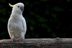 Psittaciformes. Closeup of white parrot Psittaciforms Royalty Free Stock Image