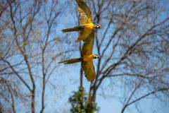 Psittacoid or common parrot flying free and in pairs stock photos