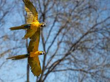 Psittacoid ou vol commun de perroquet gratuit et dans les paires image libre de droits